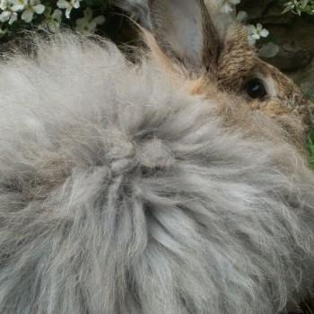 agouti-rabbit