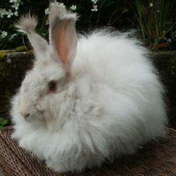 chinchilla-rabbit