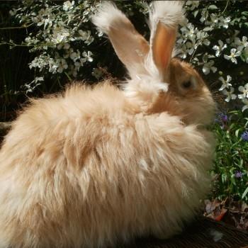 gold-rabbit